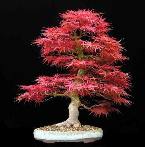 Ácer Japonês (Acer palmatum)