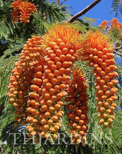 Árvore-gloriosa – (Colvillea racemosa)