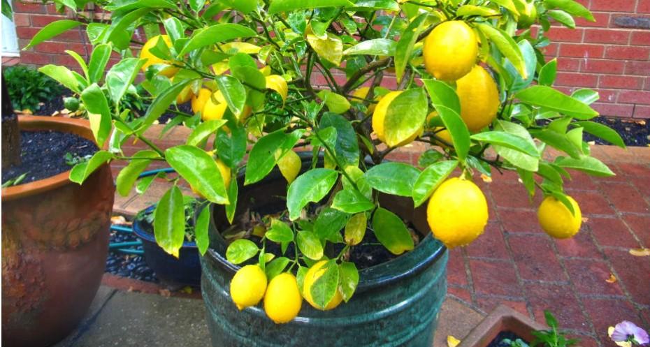 Árvores-frutíferas