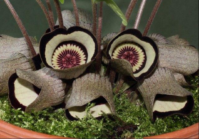Ázaro (Asarum campaniflorum)