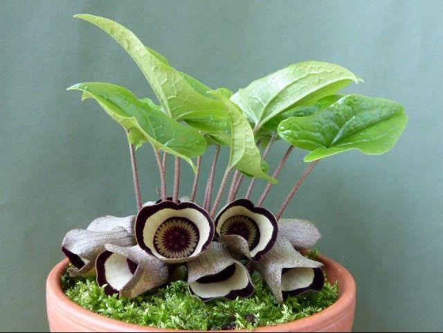 Ázaro (Asarum campaniflorum)1
