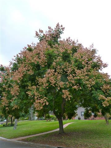 árvore-da-china