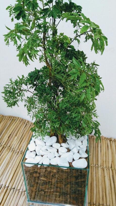 árvore-da-felicidade