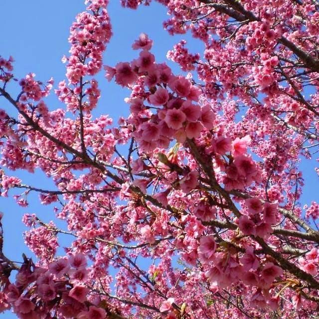 árvore de cerejeira
