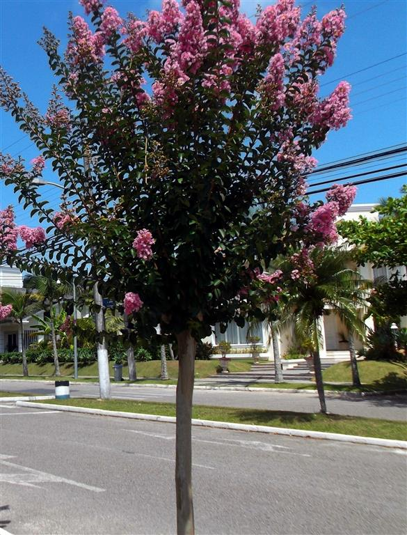árvore-de-jupiter