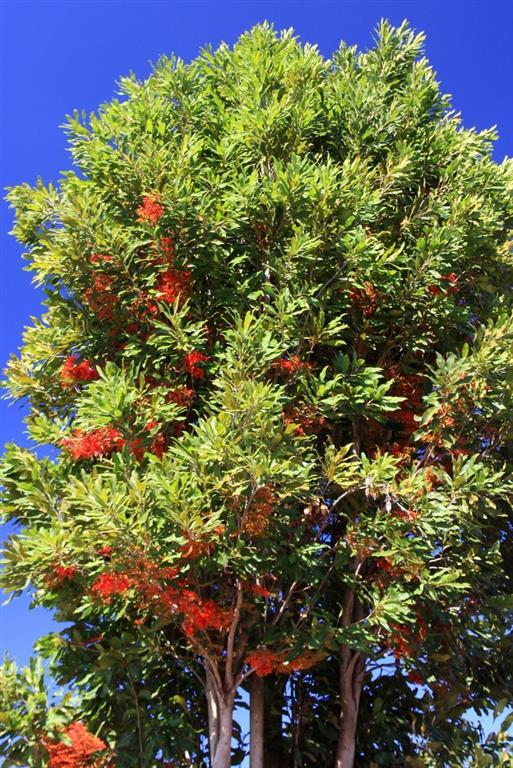 árvoredefogo