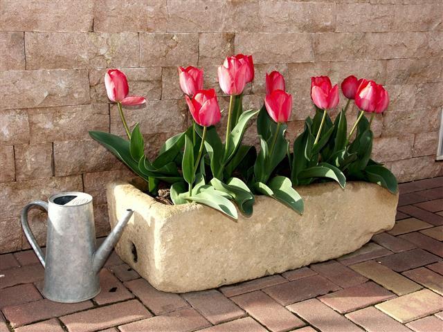 000-tulipas