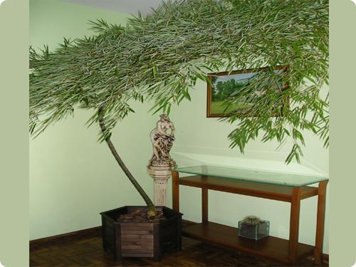 1 bambu mosso