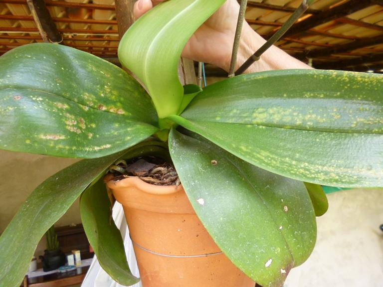 1-phalaenopsis-3