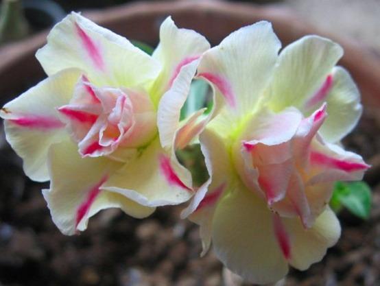 rosa-deserto-tripla