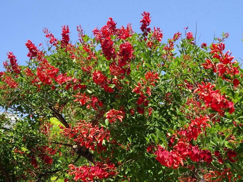 Corticeira (Erythrina crista-galli L)