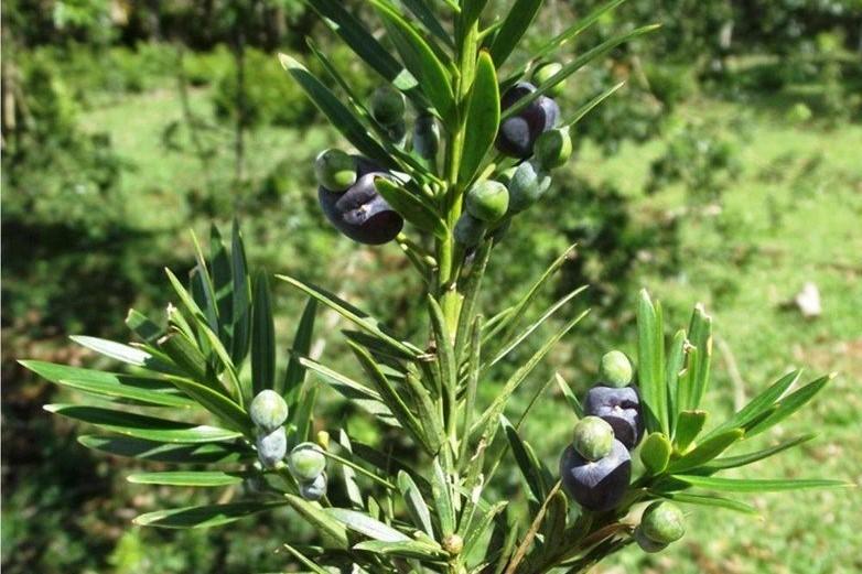 2-Podocarpus-lambertii-