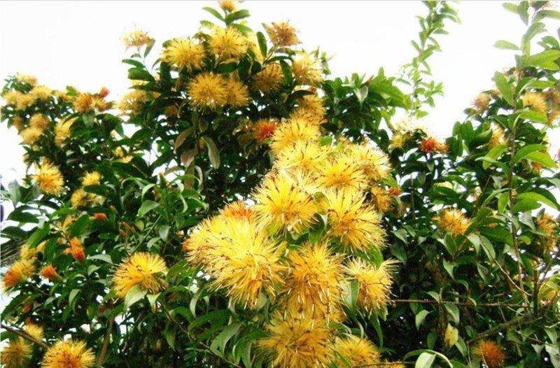 2-Stifftia-crysantha-