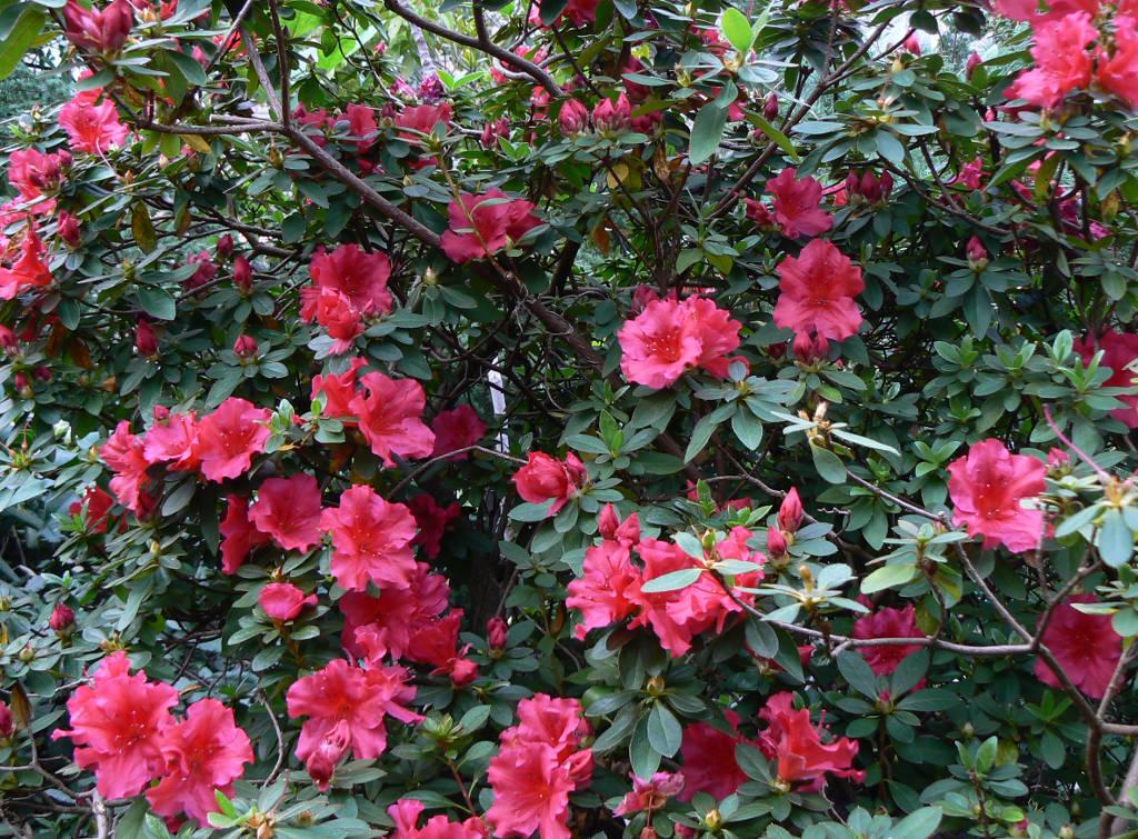 azaleia-rhododendron