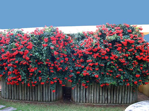 clerodendro vermelho