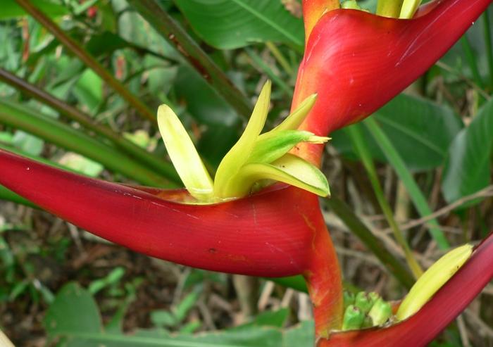 Heliconia Velloziana