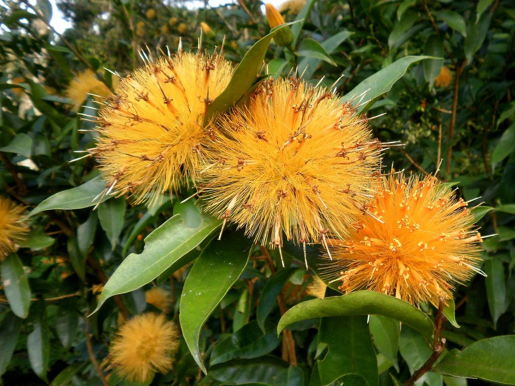 Esponja-de-ouro (Stifftia chrysantha)