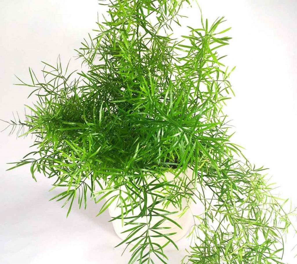 asparagus-falcatus