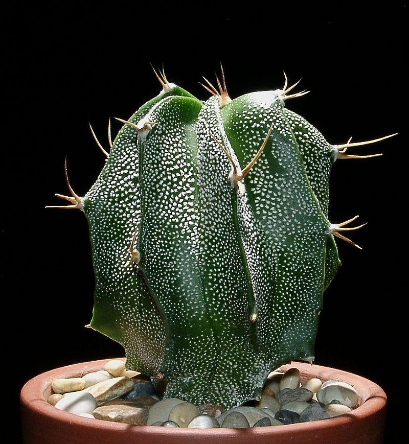 Astrophytum_ornatum5