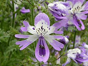 800px-Schizanthus_pinnatus_Solanaceae_flower