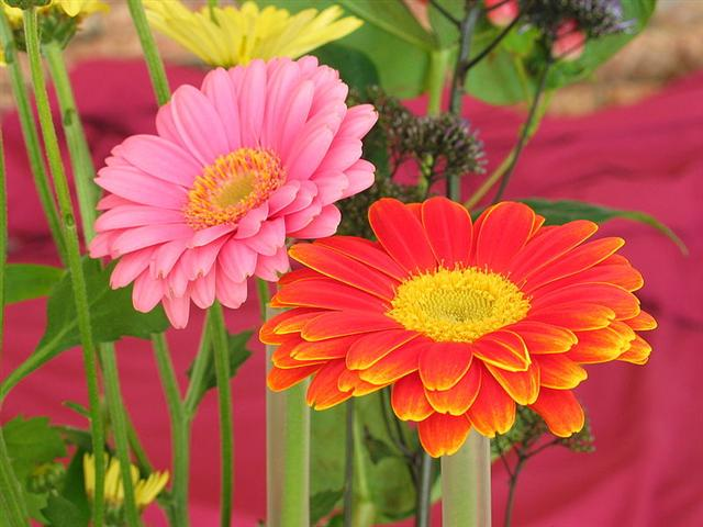 800px-Two_Gerberas (Small)