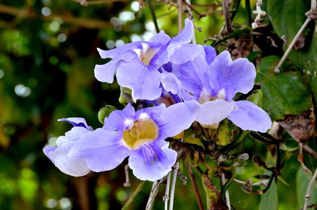 A tumbérgia-azul