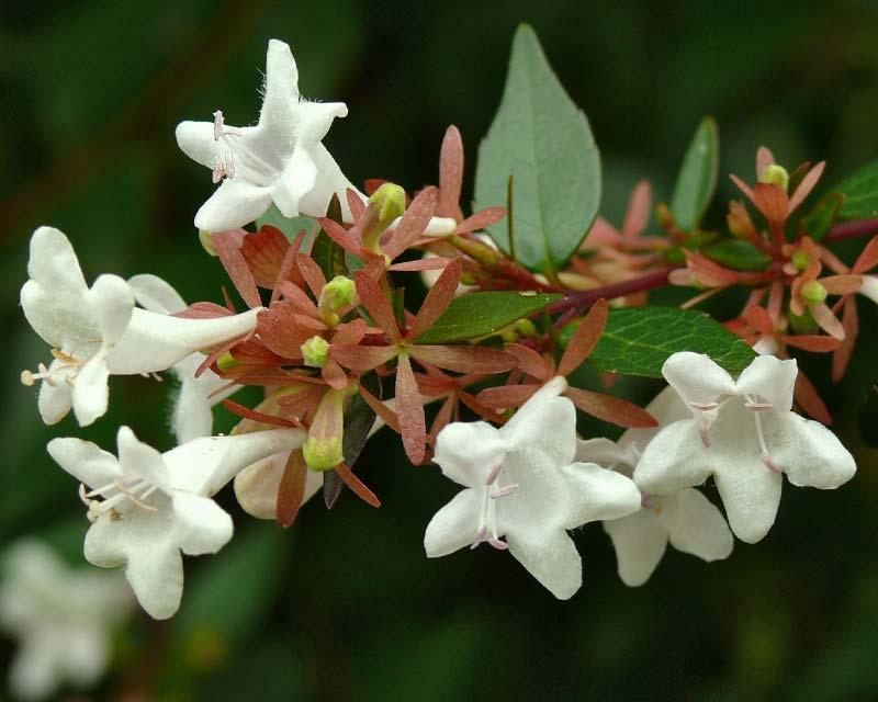 Abelia-grandiflora-N