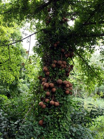 Abricó-de-macaco - Couroupita-guainensis1