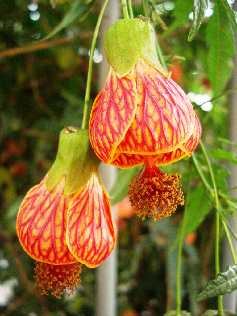 Abutilon striatum1