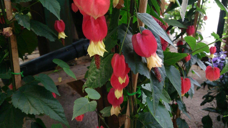 cópsia – kopsia fruticosa