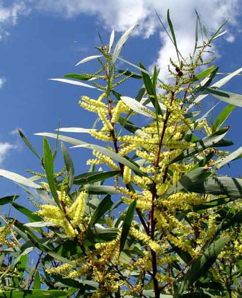 Acacia_longifolia