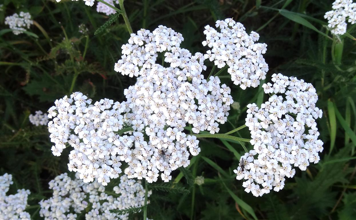 Achillea_millefolium_L.