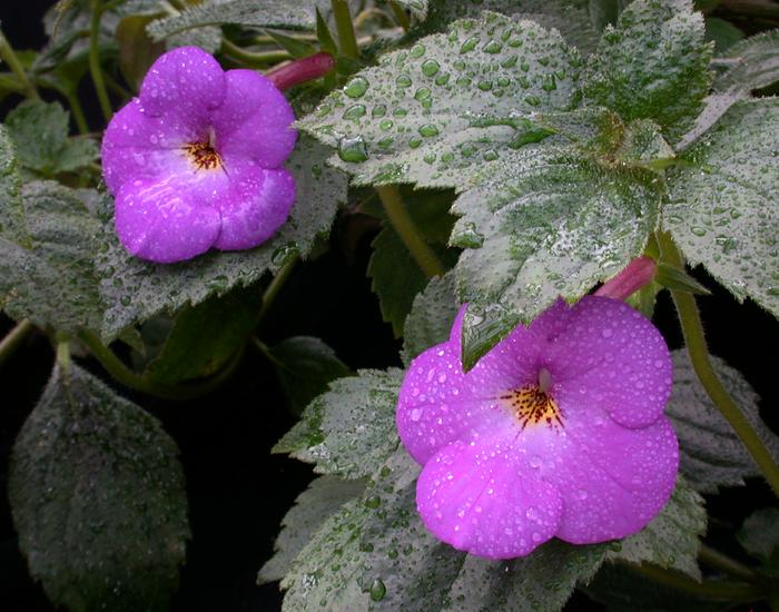 Achimenes longiflora39
