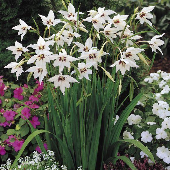 Acidantera (Gladiolus Murielae)