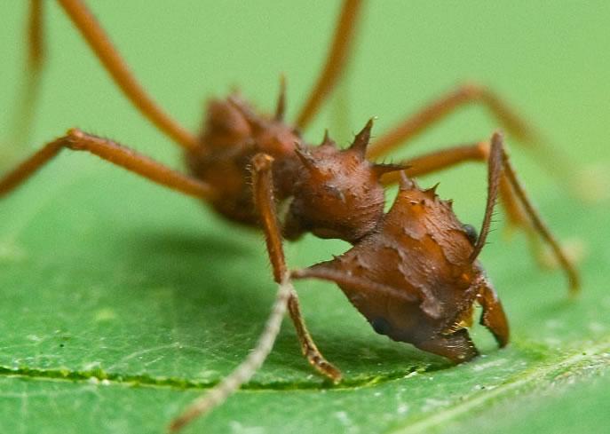 Acromyrmex-spp.-formiga-quenquem