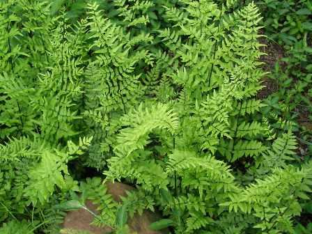 Adenanthemum formosum