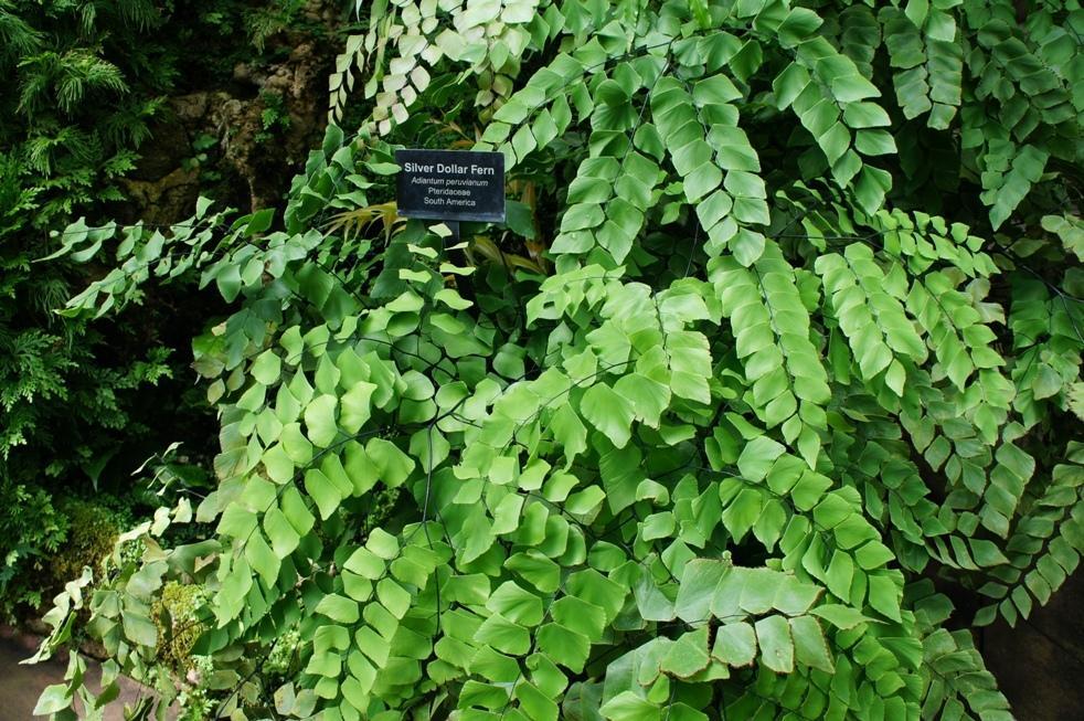 (Adiantum peruvianum)