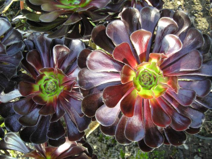 Aeonium Negro (Aeonium Zwartkop - Aeonium arboreum hibrido