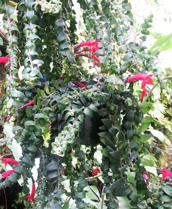 Aeschynanthus radicans 'Rasta'