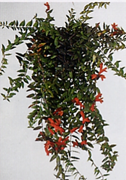 Aeschynanthus