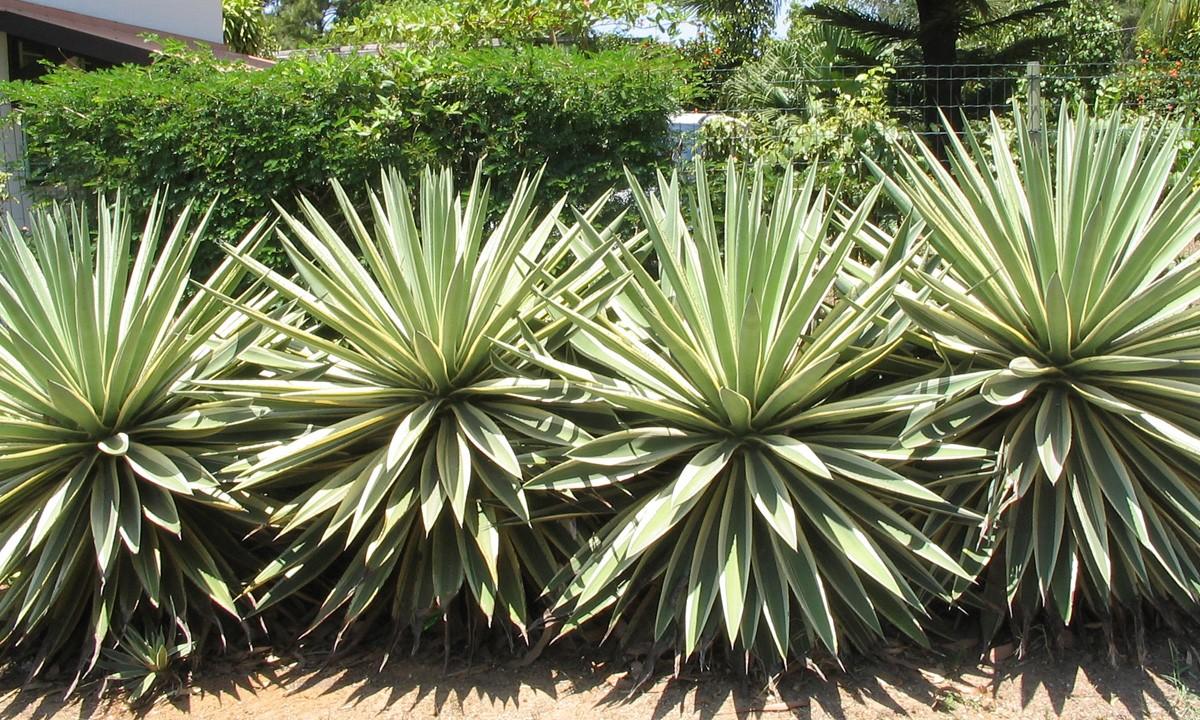 Agave-angustifolia-marginat-10