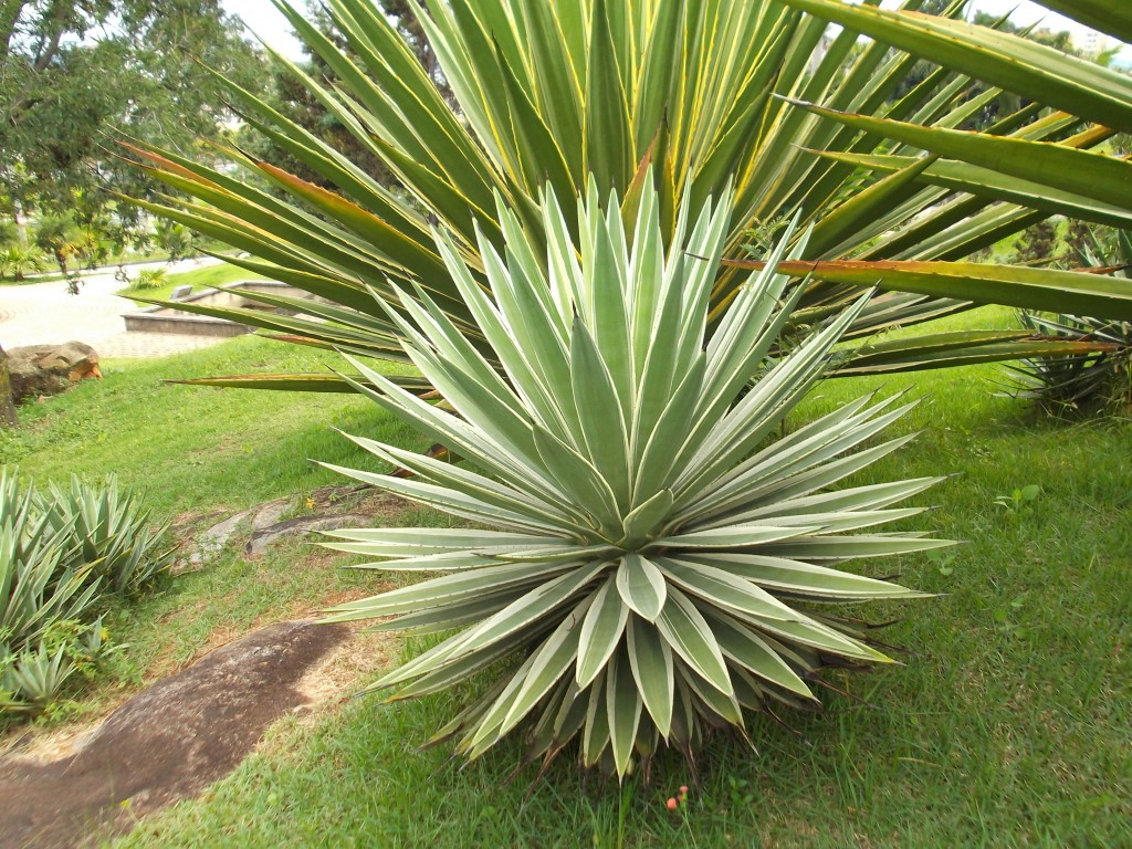 Agave angustifolia111