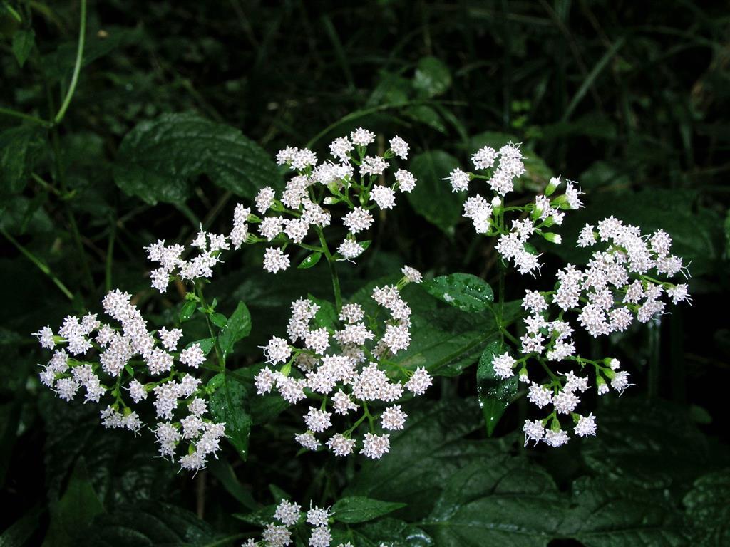 Ageratina altíssima (White snakeroot)