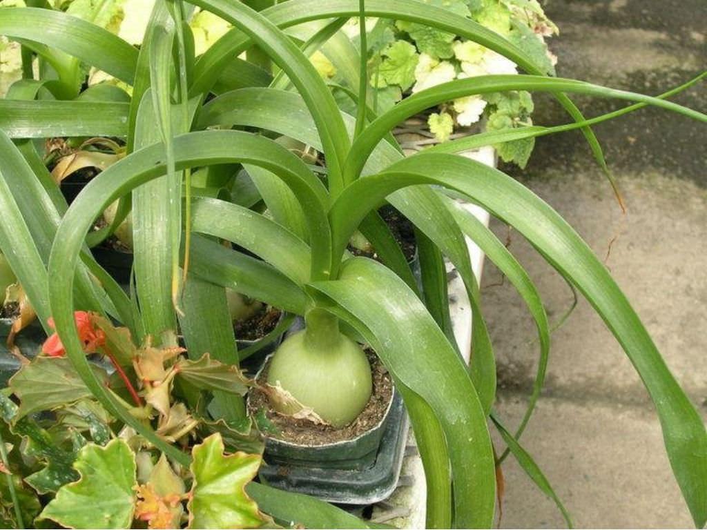 Albuca-bracteata-Pregnant-Onion3