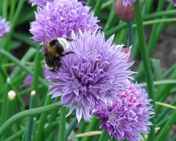 Allium-Schoenoprasum-Bee