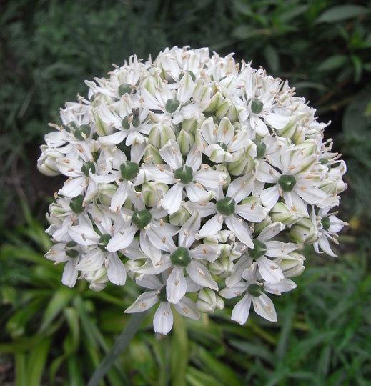 Allium_nigrum