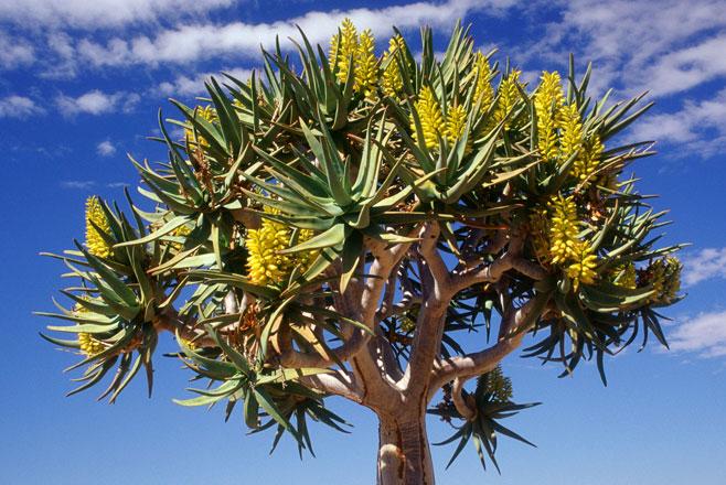 Aloe '