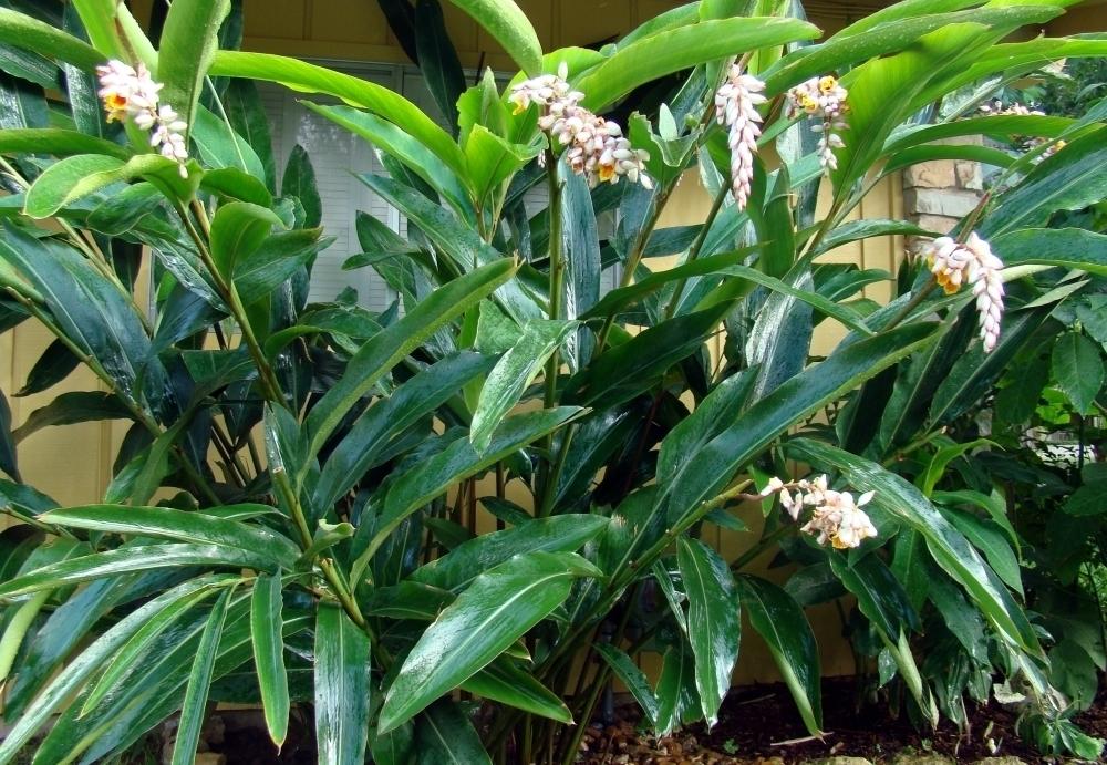 Alpinia zerumbet1