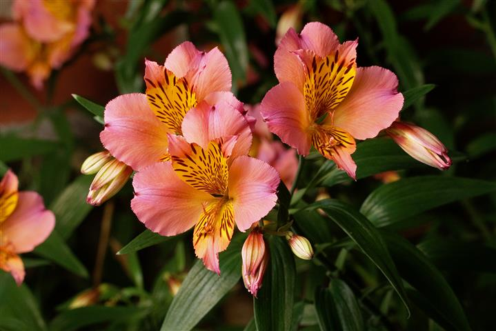 Alstroemeria hybrida1