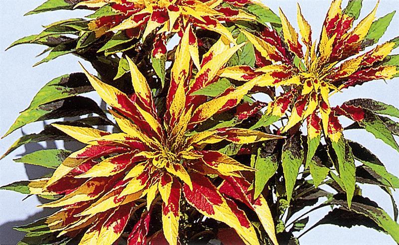 Amaranthus tricolor1